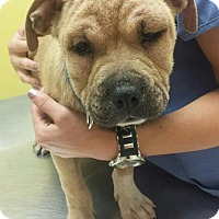 Adopt A Pet :: Nelly - Sacramento, CA