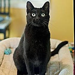 Photo 3 - Domestic Shorthair Cat for adoption in Carencro, Louisiana - Jack Black