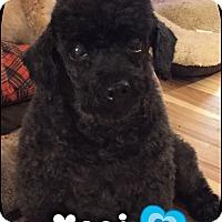Adopt A Pet :: Yogi (senior discount!) - Brattleboro, VT