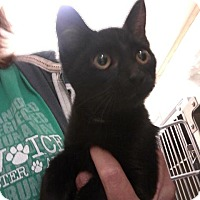 Domestic Shorthair Kitten for adoption in Fayetteville, West Virginia - Squirt