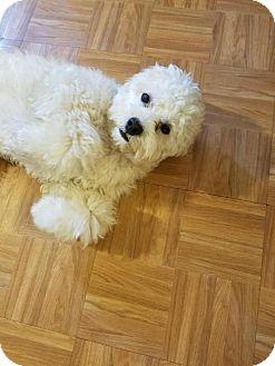 Coton de Tulear/Maltese Mix Dog for adoption in Santa Monica, California - Mooshie (Friendly, Cuddly!)