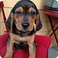 Adopt A Pet :: Sheba - Tampa, FL