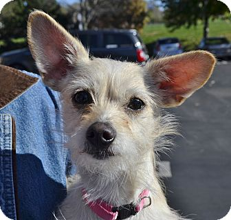 Terrier (Unknown Type, Small) Mix Dog for adoption in Independence, Missouri - Mindy - Courtesy Listing