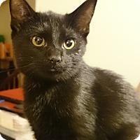 Domestic Shorthair Kitten for adoption in Morganton, North Carolina - Maggie