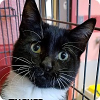 Domestic Shorthair Cat for adoption in Lapeer, Michigan - Tucker