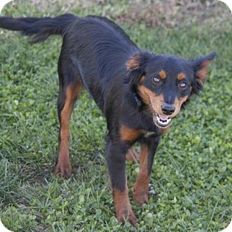 Australian Shepherd/Dachshund Mix Puppy for adoption in Bedford, Indiana - Ruth