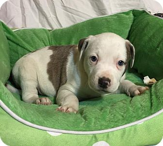 Hound (Unknown Type)/Pit Bull Terrier Mix Puppy for adoption in Barnhart, Missouri - Bart