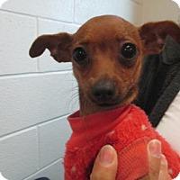 Adopt A Pet :: Amber - Irving, TX
