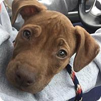 Adopt A Pet :: Kali - Mechanicsburg, PA