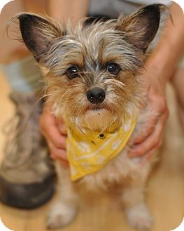 Yorkshire Terrier Nj Precious | Adop...