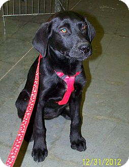 Labrador Retriever Mix Puppy for adoption in Sherman, Connecticut - Jackie Betty's Puppy