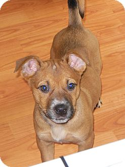 Rhodesian Ridgeback/Mountain Cur Mix Puppy for adoption in maryville, Tennessee - Blaire