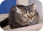 Maine Coon Cat for adoption in Colorado Springs, Colorado - Calvin