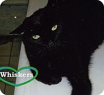 Domestic Shorthair Cat for adoption in Huntington, New York - Whiskers