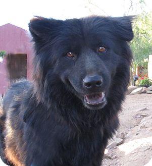 Ellie Adopted Dog Toluca Lake Ca Alaskan Malamute