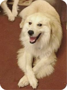 Great Pyrenees Dog for adoption in Tulsa, Oklahoma - Brody *Adopted