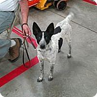 Adopt A Pet :: Shela - Conway, AR