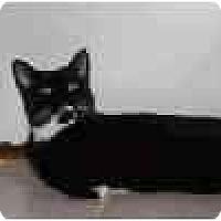Adopt A Pet :: Judy AKA VELVET - Lake Ronkonkoma, NY