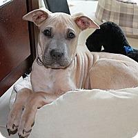 Adopt A Pet :: Hondo - Brattleboro, VT