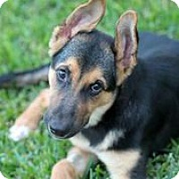 Adopt A Pet :: Axle - Austin, TX