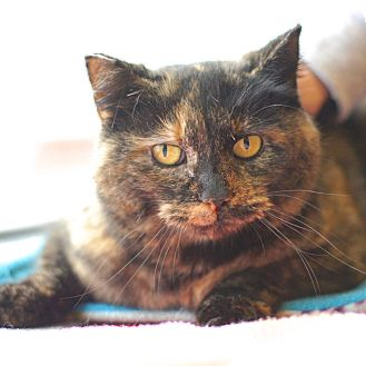 Domestic Shorthair Cat for adoption in East Hartford, Connecticut - Tootsie