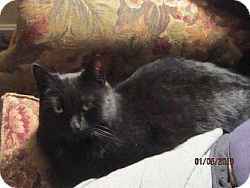 Domestic Shorthair Cat for adoption in N. Berwick, Maine - Jasmine