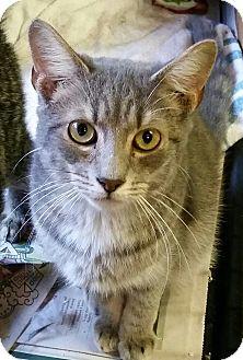 Domestic Shorthair Kitten for adoption in Ocala, Florida - Milo
