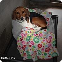 Foxhound Dog for adoption in Waldron, Arkansas - Princess