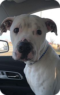 American Bulldog/American Pit Bull Terrier Mix Dog for adoption in Fort Dodge, Iowa - Oz