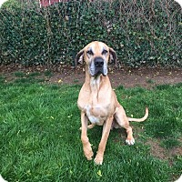Great Dane Dog for adoption in Boonton, New Jersey - Caliber