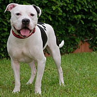 American Bulldog Mix Dog for adoption in Portland, Oregon - LT