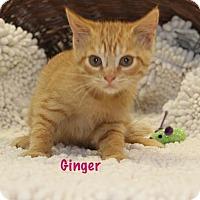 Adopt A Pet :: Ginger - Baton Rouge, LA