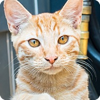 Domestic Shorthair Cat for adoption in Los Angeles, California - Elsa