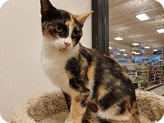 Calico Cat for adoption in Colonial Heights, Virginia - Savannah