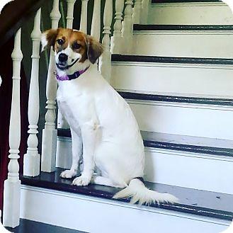 Brittany Dog for adoption in Waterbury, Connecticut - BRITT