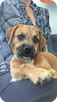 Dachshund Puppy for adoption in Weston, Florida - Butternut