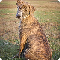 Whippet Mix Dog for adoption in Terre Haute, Indiana - Brynn