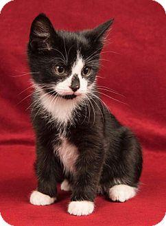 Domestic Shorthair Cat for adoption in Davis, California - Jake