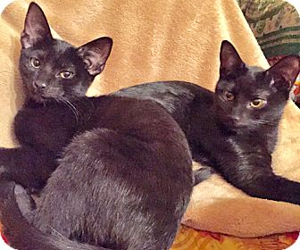 Bombay Kitten for adoption in Brooklyn, New York - Ebby and Boo, Bombay Babies