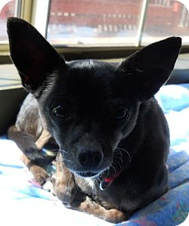 Chihuahua Dog for adoption in dewey, Arizona - Evie