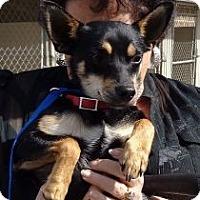 Adopt A Pet :: Liam (In new england) - Brattleboro, VT