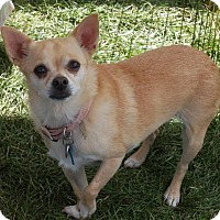 Chihuahua Mix Dog for adoption in C/S & Denver Metro, Colorado - Lexi   5 Years