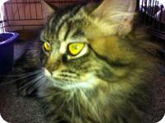 Domestic Mediumhair Cat for adoption in Toronto, Ontario - Amy