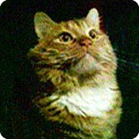 Adopt A Pet :: Simba - Bentonville, AR