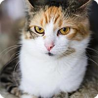 Domestic Shorthair Cat for adoption in Burlington, Ontario - Callie