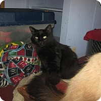 Domestic Mediumhair Cat for adoption in Coos Bay, Oregon - Shannon