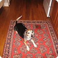 Adopt A Pet :: Rocky P. George - Waldorf, MD
