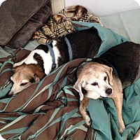 Adopt A Pet :: Buddy & Tess (In Foster) - Freeport, ME