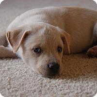Adopt A Pet :: Bambi - Windermere, FL
