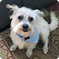 Adopt A Pet :: Ziggy - Encino, CA